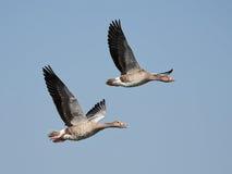 Greylag Goose (Anser anser) Stock Images