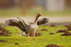 Greylag Goose (Anser anser). The Greylag Goose (in the US also called Graylag in the US) (Anser anser), is a bird with a wide range in the world Stock Image