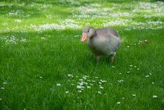 A Greylag Goose Anser anser Stock Photography