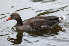 Greylag goose Anser anser. Royalty Free Stock Image