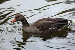 Greylag goose Anser anser. Royalty Free Stock Images