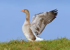 Greylag Goose (Anser anser Wing Flapping. European Graylag / Greylag Goose (Anser anser) flapping wings, low point of view royalty free stock photo