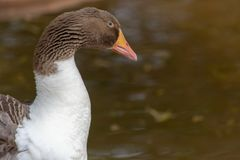 Greylag goose anser answer close up of brown head, orange beak and white feathers stock images