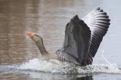 Greylag goose Anser anser washing in water stock photo
