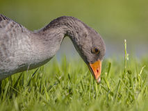 Greylag goose bird eating grass Royalty Free Stock Photo