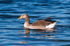 Greylag Goose On Blue Water Royalty Free Stock Photo
