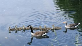 Geese family swimming stock photos