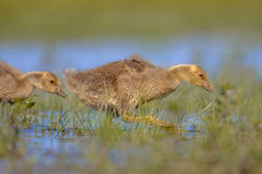 Greylag goose chick running through water Stock Image