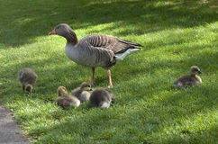 Greylag Goose with Chicks Stock Image