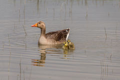 Greylag goose with chicks Royalty Free Stock Photo