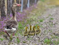 Greylag goose with chicks,Neusiedler see lake Stock Photo