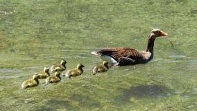 Greylag goose with chicks Stock Photo