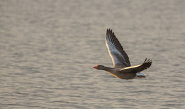 Greylag Goose close-up in flight Stock Photo