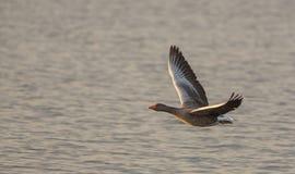 Greylag Goose close-up in flight Stock Photo