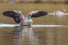Greylag goose with collar Stock Image