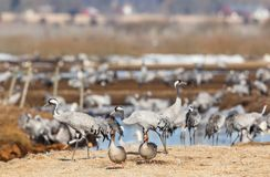 Greylag Goose and Cranes Royalty Free Stock Photos