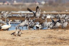 Greylag Goose and Cranes Stock Images