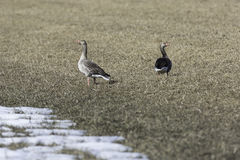 Greylag Goose in Cultivated Field Stock Images