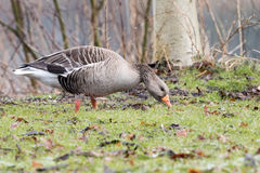 Greylag goose. Greylag goose eating grass on a grass field Stock Photos