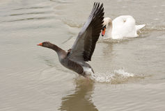 Greylag goose escaping Stock Photo