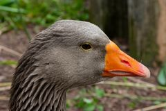 Greylag Goose face royalty free stock photography