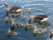 Greylag goose family 2. Greylag geese and their young Stock Photography