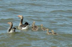 Greylag goose family (Anser anser) Royalty Free Stock Photography