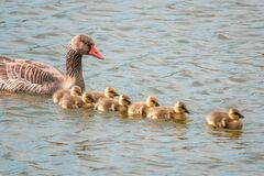 Free Greylag Goose Family With Their Freshly Hatched Chicks Swimming On The Lake Stock Images - 216344564