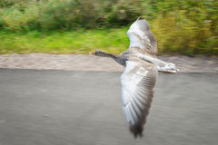 Greylag goose in fast flying speed upon road near coloful field Royalty Free Stock Image