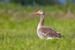 Greylag goose feeding on grass royalty free stock photography