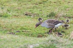 Greylag goose female with 8 little ducklings stock photo