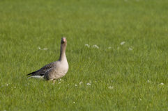Greylag goose in field Stock Images
