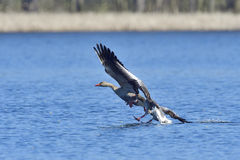 Greylag goose Stock Image