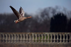 Greylag Goose Flies Past Ornate Wall Stock Photography