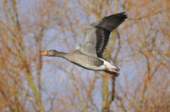 Greylag Goose in flight Royalty Free Stock Images