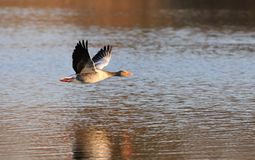 Greylag Goose in flight Royalty Free Stock Photo
