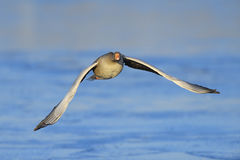 Greylag Goose in flight stock photo