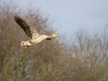 Greylag goose in flight Stock Photos