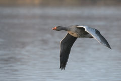 Greylag Goose in Flight. Stock Image