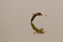 Greylag Goose in flight Royalty Free Stock Photography