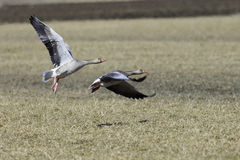 Greylag Goose Flying over Cultivated Field Royalty Free Stock Images
