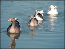 Greylag goose Royalty Free Stock Images