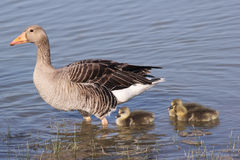 Greylag Goose with gosling Royalty Free Stock Photos