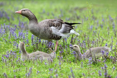Greylag goose and gosling Stock Photography