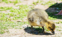 Greylag goose gosling Royalty Free Stock Images