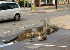 Greylag goose with gosling in puddle in British road Stock Photography