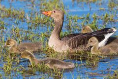 Greylag Goose with a goslings Royalty Free Stock Images