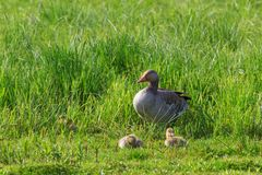Greylag Goose with goslings Stock Images