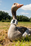 Greylag goose with gps/gsm transmitter Royalty Free Stock Image
