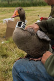 Greylag goose with gps/gsm transmitter Royalty Free Stock Photography